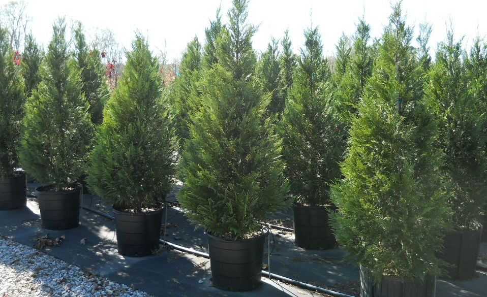 Buy leyland cypress trees evergreen privacy trees for Purchase trees