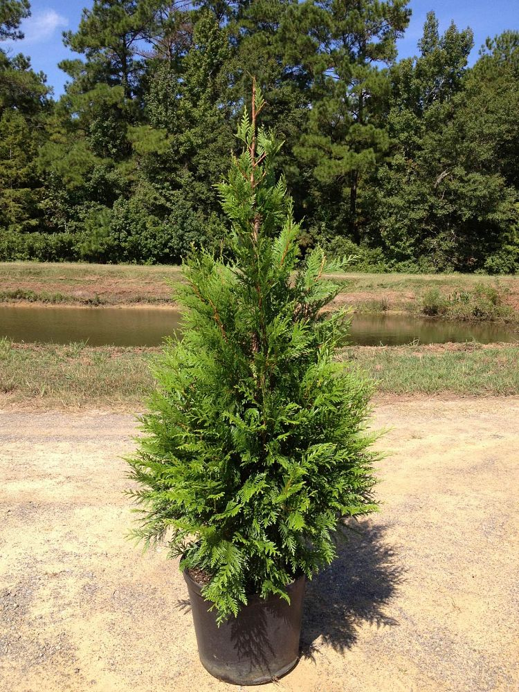Thuja green giant arborvitae 7 gallon tree evergreen for Green giant arborvitae