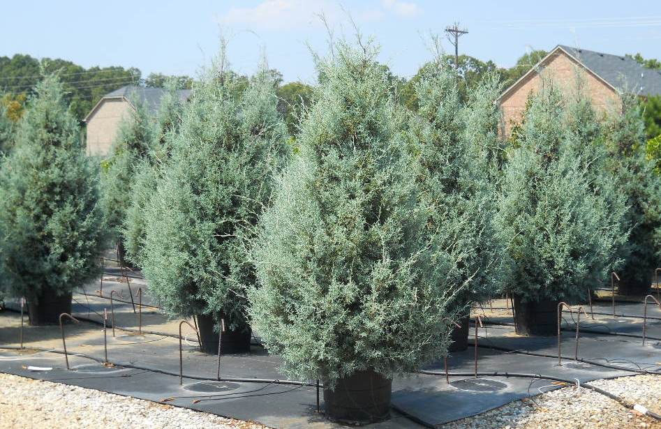 Carolina sapphire tree evergreen privacy trees for Landscaping plants south carolina