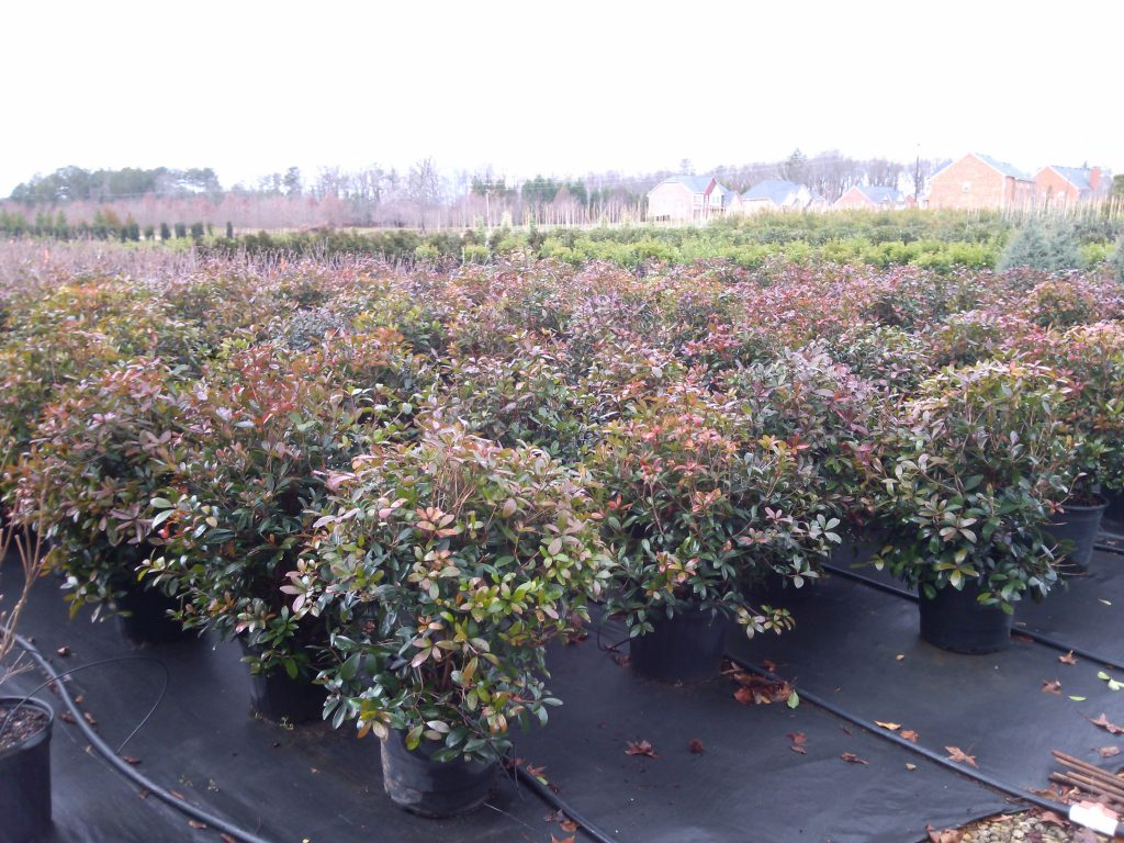 Cleyera 7 Gallon Shrub Evergreen Privacy Trees